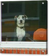 Doggie In The Window Acrylic Print
