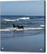 Dogs In The Surf Acrylic Print