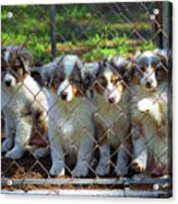 Dogs. Let Us Out #2 Acrylic Print