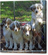 Dogs. Let Us Out #3 Acrylic Print