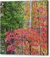 Dogwood And Cedar Acrylic Print