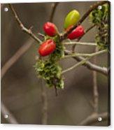 Dogwood Berries Acrylic Print
