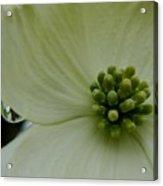 Dogwood Bloom - Closeup Acrylic Print