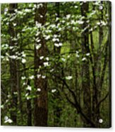 Dogwood Blooming In Forest Acrylic Print