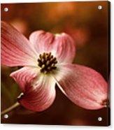 Dogwood Blossom Acrylic Print