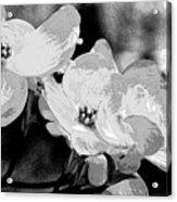 Dogwood Blossoms - Black And White Acrylic Print