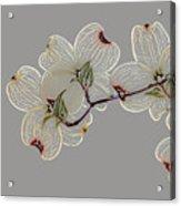 Dogwood Flowers 3 Acrylic Print