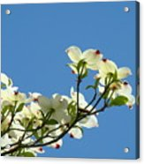 Dogwood Flowers Art Prints White Flowering Dogwood Tree Baslee Troutman Acrylic Print