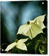 Dogwood Flowers In Streaming Blue Light Acrylic Print