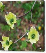 Dogwood Flowers Acrylic Print