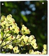 Dogwood Flowers White Dogwood Tree Flowers Art Prints Cards Baslee Troutman Acrylic Print