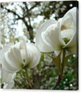 Dogwood Flowers White Dogwood Trees Blossoming 8 Art Prints Baslee Troutman Acrylic Print