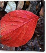 Dogwood Leaf Acrylic Print