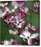 Dogwood Tree Acrylic Print