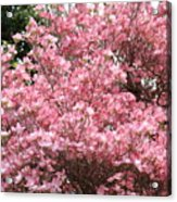 Dogwood Tree Flowers Art Prints Canvas Pink Dogwood Acrylic Print