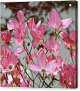 Dogwood Trees Flower Blossoms Art Baslee Troutman Acrylic Print