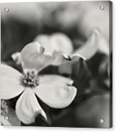 Dogwoods In Black And White Acrylic Print