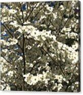 Dogwoods In Bloom Acrylic Print