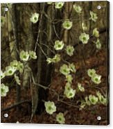 Dogwoods In The Spring Acrylic Print