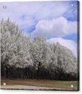 Bradford Pear Trees On Display Acrylic Print