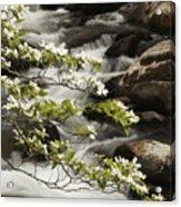 Dogwoods Over Cascades  Acrylic Print