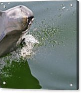 Dolphin At Play Acrylic Print