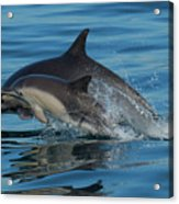 Dolphin Baby Flight Acrylic Print