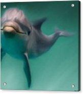 Dolphin  Acrylic Print by Crispin  Delgado