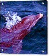 Dolphin In The Gulf Acrylic Print