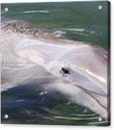 Dolphin Acrylic Print