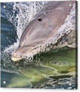 Dolphin Pair Acrylic Print