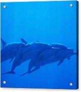 Dolphin Pod Acrylic Print