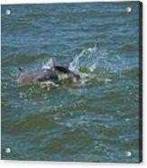 Dolphin Race Acrylic Print