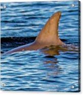 Dolphin Sighting Acrylic Print
