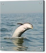 Dolphin Splash Acrylic Print