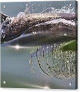 Dolphin Surfaces Acrylic Print
