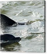 Dolpins In Estero Bay Acrylic Print