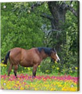 Domestic Horse In Field Of Wildflowers Acrylic Print