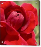 Dominica Red Rose Acrylic Print
