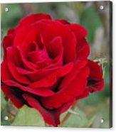 Don Juan Climbing Rose Acrylic Print