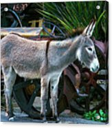 Donkey And Old Tractor Acrylic Print