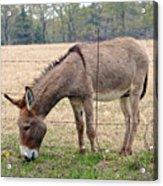 Donkey Finds Greener Grass Acrylic Print
