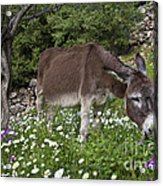 Donkey Grazing In Greece Acrylic Print