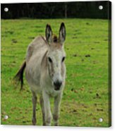 Donkey On A Farm Acrylic Print