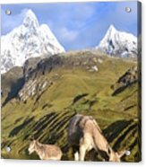Donkeys Grazing In The Mountains Acrylic Print