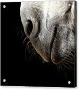Donkey's Mouth Acrylic Print