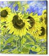Dordogne Sunflowers Acrylic Print