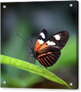 Doris Longwing Butterfly 2017 Acrylic Print