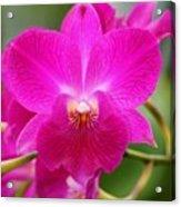 Dendrobium Orchid 2 Acrylic Print