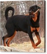 Rottie With A Tail And Stick Acrylic Print